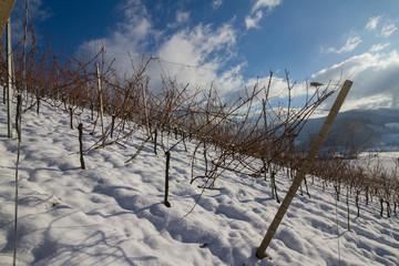 Weinberge Reben im Winter