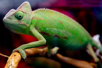 Green chameleon on the branch.