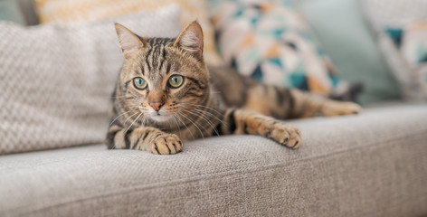 Beautiful short hair cat lying on the sofa at home