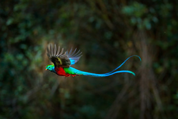 Flying Resplendent Quetzal, Pharomachrus mocinno, Costa Rica, with green forest in background. Magnificent sacred green and red bird. Action flight moment with Quetzal, beautiful exotic tropic bird.