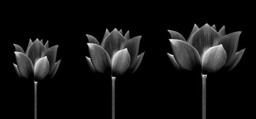 collection lotus isolated on white background.