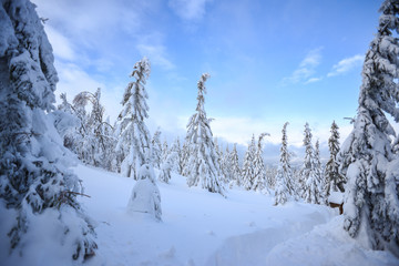 Winter landscape, snow-covered trees in the mountains. Karkonosze, Poland.