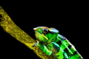 Panther chameleon in closeup and isolated on a black background, tropical iguana from madagascar, popular vivarium pet