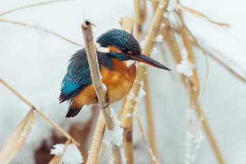 Kingfisher perches on a stake in a pond in winter. - Image