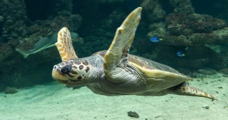 Nurkowanie Żółw morski (Caretta caretta)