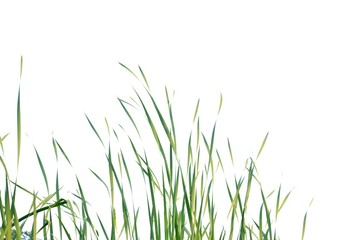 Wild grass plant leaves on white isolated background for green foliage backdrop