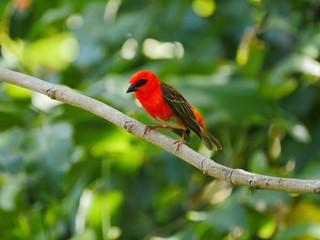 Red Fody bird perching in natural habitat