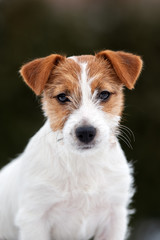 jack russell terrier puppy portrait outdoors
