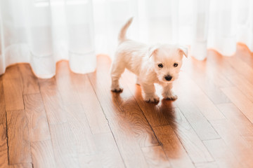 Cute west terrier puppy on the floor by the window