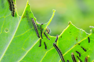 nasty black caterpillars crawl on green cabbage leaves and eat them in the garden on the farm