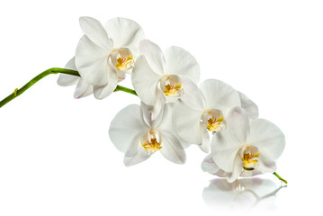 Orchid. A branch of white orchids. Greeting card. Beautiful composition. Isolate on white background. White orchid branch with reflection on white background