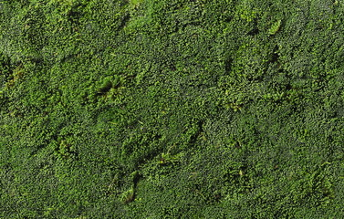 green moss for background texture, top view