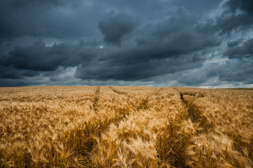 Wavy Wheat Fields with Storm Clouds