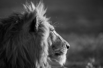 A blonde manned lion staring into the distance in black and white