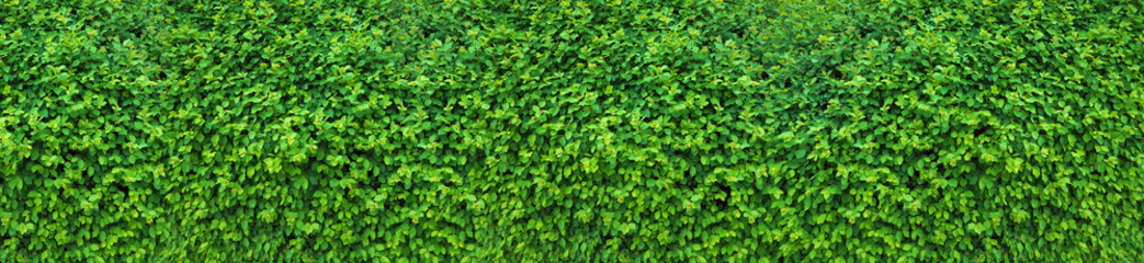A thick spring hedge, a spring decorative motif. Panorama of the green wall consisting of thousands of small leaves.