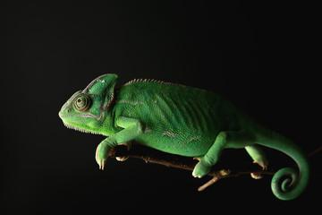 Cute green chameleon on branch against dark background