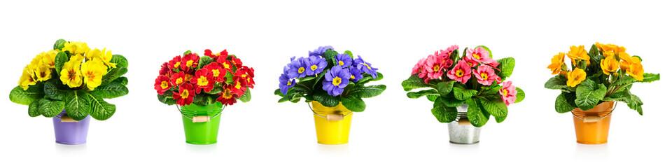 Primrose primula spring flowers banner