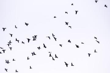 Flying birds in the sky. White background