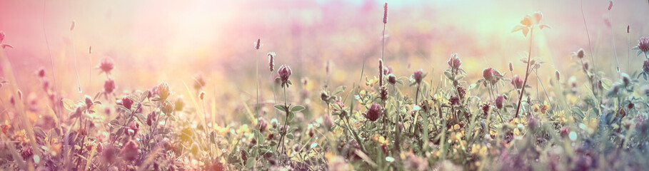 Selective and soft focus on flowering red clover, beautiful meadow, flowering meadow flowers