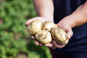 Farm garden with green potatoes during ripening. Vegetables in the hands of a farmer businessman. Stock background, photo.