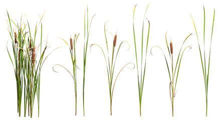 Ożypałki i trzciny roślina odizolowywająca na białym tle