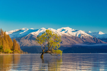 The Lonely tree of Lake Wanaka and snowy Buchanan Peaks, South Island, New Zealand