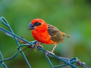 Red Fody bird perching on barbed wire fencing