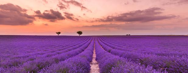 Fioletowe krzewy lawendy. Pięknych kolorów lawendowi purpurowi pola blisko Valensole, Provence w Francja, Europa