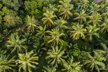 Coconut palm tree aerial view tropical forest