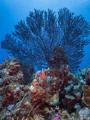 Seascape of coral reef in the Caribbean Sea around Curacao at dive site Smokey's with black gorgonian coral and moray eel