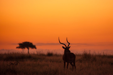 Male Impala, Aepyceros melampus, silhouetted at sunrise