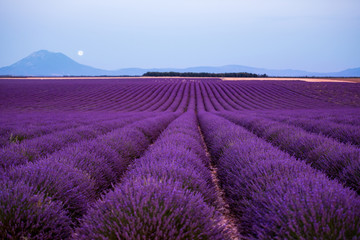 the moon above lavender field france