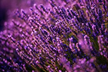 Bliska Krzewy lawendowych purpurowych aromatycznych kwiatów