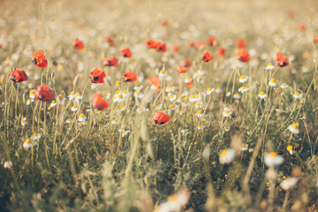 Field of corn poppy flowers papaver rhoeas in spring, toned photo