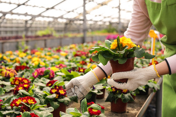Young woman taking care of flowers in greenhouse, closeup. Home gardening