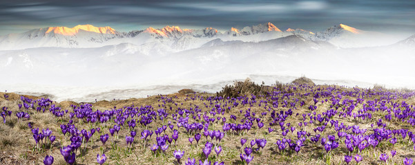 Alpine crocuses in the mountain fields