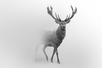 Deer nature wildlife animal walking proud out of the mist