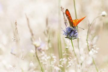 The Red-Thrush Butterfly, Czerwończyk Dukacik (Lycaena virgaureae)