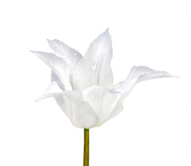 White varietal tulip closeup isolated on white background with clipping path