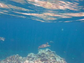 Amami Oshima, Japan - April 7, 2019: Sea turtle near Ayamaru Cape at Amami Oshima, Kagoshima, Japan