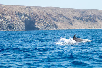 whale watching in Tenerife, open sea and nature activities in the marine park. Cetacean sighting..Dolphin in the open sea among the waves