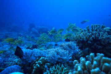 coral reef underwater / sea coral lagoon, ocean ecosystem