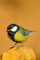 Cute colorful bird. Yellow orange nature background. Common Bird: Great tit.