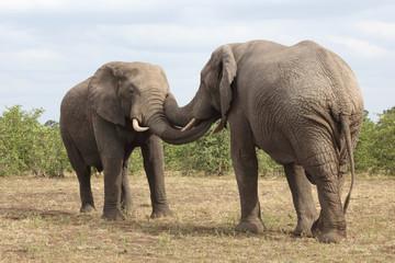 Afrikanischer Elefant / African elephant / Loxodonta africana