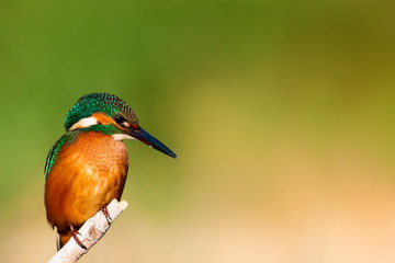 Cute colorful bird. Kingfisher. Green nature background.