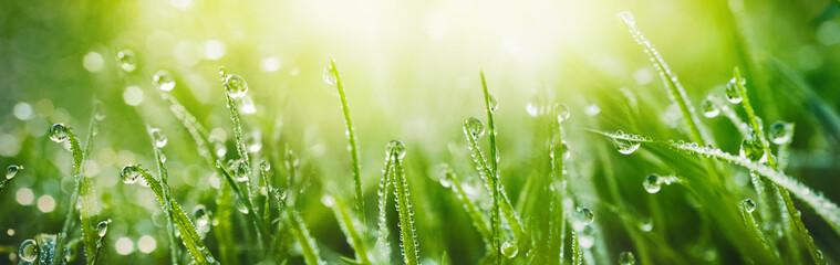 Soczysta luksusowa zielona trawa na łące z kroplami wodna rosa w ranku świetle w wiosny lata outdoors zakończeniu makro-, panorama. Piękny artystyczny obraz czystości i świeżości przyrody, kopia przestrzeń.