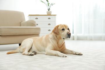 Yellow labrador retriever lying on floor indoors