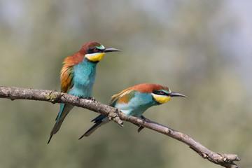 Una splendida coppia di Gruccione europeo (Merops apiaster)