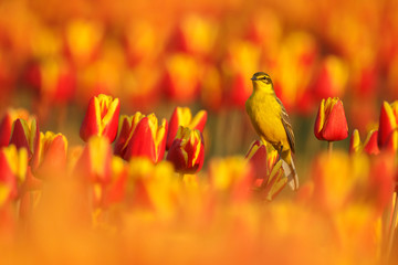 Yellw wagtail Sits on Dutch tulips