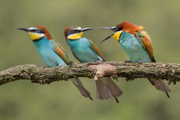 Beautiful portrait of three European bee eaters (Merops apiaster)